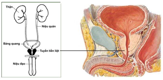 Tìm hiểu về phì đại tuyến tiền liệt